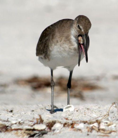 Bird vomit